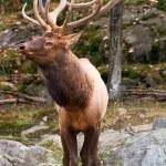Male Deer — Stock Photo #2048926