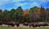 American Buffaloes — Stock Photo