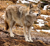 Coyote Looking Ahead — Stock Photo