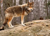 Coyote Standing on a Rock — Stock Photo