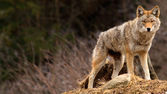 Coyote on Top of a Hill — Stock Photo