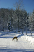 Fallow Deers on the Snowy Road — Stock Photo