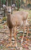 Deer Looking at the Camera — Stock Photo