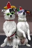 смешные собачки — Стоковое фото