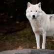 Arctic Wolf Looking at the Camera — Stock Photo