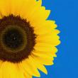 Sunflower — Stock Photo #2395435