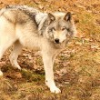 Gray Wolf on a Spring Day — Stock Photo