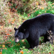 American Black Bear Walking — Stock Photo