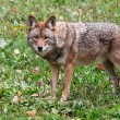 Coyote Looking at the Camera — Stock Photo #2399520