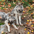 Two Gray Wolves Looking at the Camera — Stock Photo