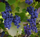 Blue Grapes Hanging From a Vine — Stock Photo