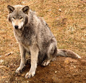 Grijze wolf op zoek naar jou — Stockfoto