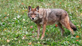 Coyote Looking at the Camera — Stock Photo