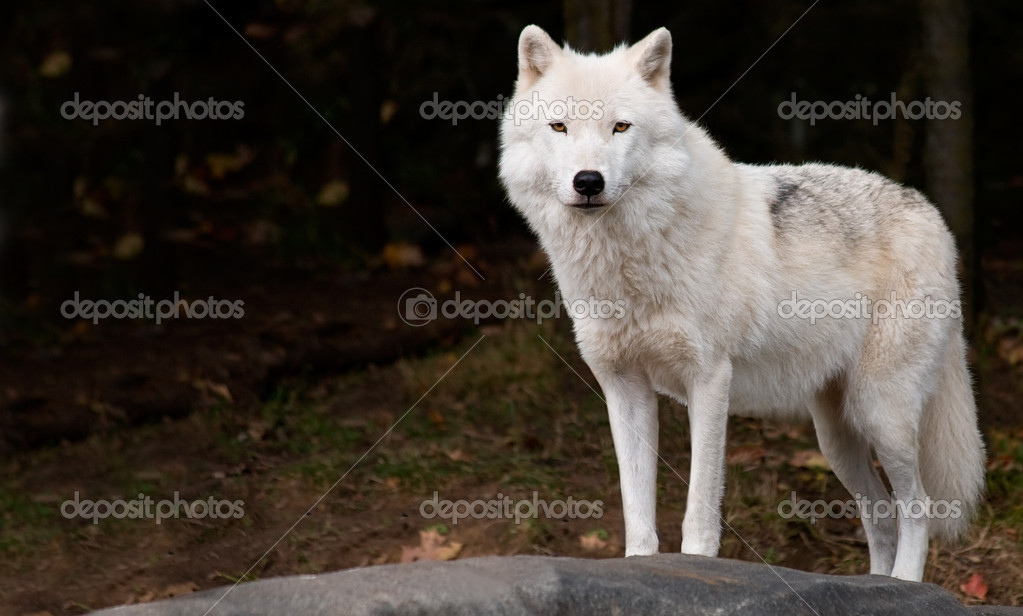 An arctic wolf is looking at the camera. — Stok fotoğraf #2395154