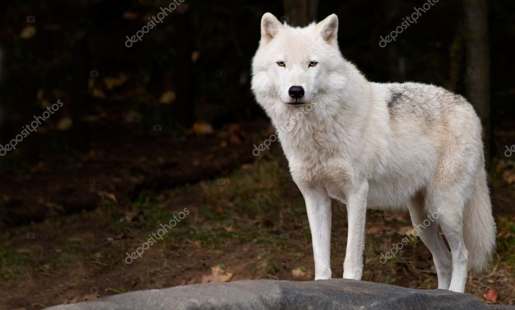 An arctic wolf is looking at the camera.  Foto de Stock   #2395154