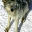 Stock Photo: Gray Wolf in the Snow