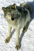 Gray Wolf in the Snow — Stock Photo