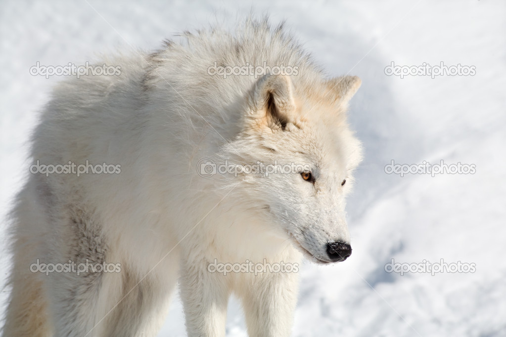 An arctic wolf is walking in the snow — Stock Photo #2400011