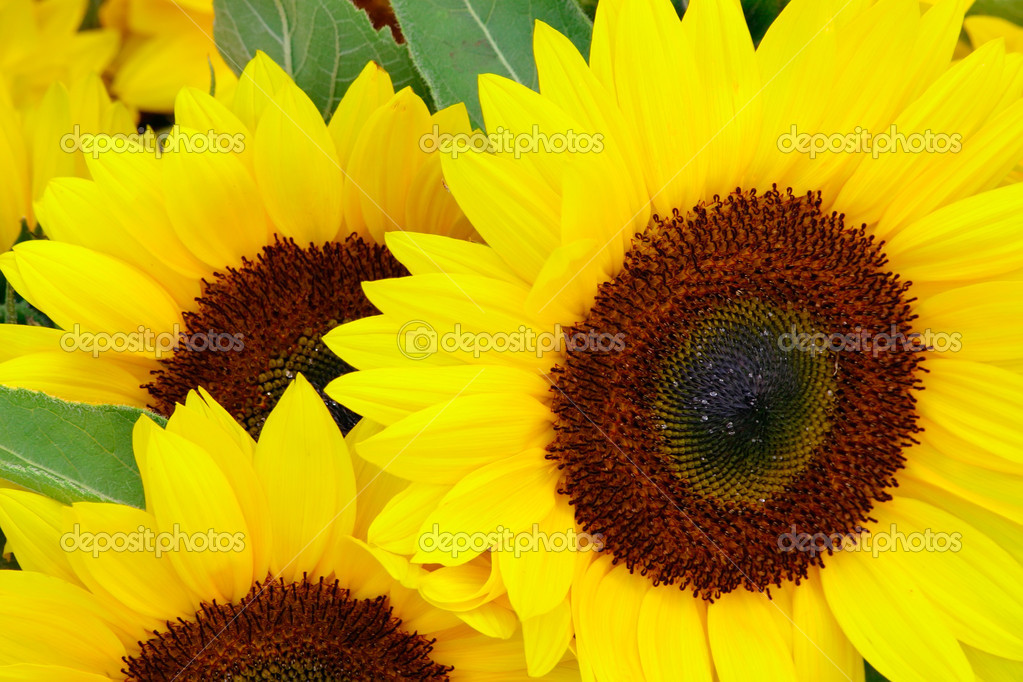 A sunflower is displayed. — Stock Photo #2407389