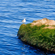 Seagull on Rock — Stock Photo