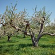 Stock Photo: Old Apple Tree with Blossom