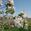 Apple Blossoms in Orchard - ストック写真
