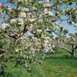 Apple Blossoms in the Orchard - ストック写真