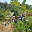 Blueberry Branch — Stock Photo #2056992
