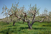 Old Apple Tree with Blossom — Stock Photo