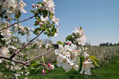 Apple Blossoms in Orchard — Stock Photo