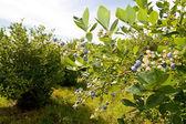 Blueberry Branch — Stock Photo
