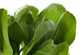 Baby Bok Choy Leaves — Stock Photo