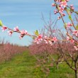 Peach Blossoms — Stock Photo #2074700