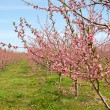 Peach Orchard in Pink Blossoms — Stock Photo #2074819