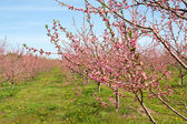 Peach Orchard in Pink Blossoms — Stock Photo