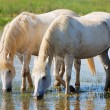 Stock Photo: White horses