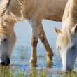 Stock Photo: Drinking horses