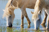 Drinking horses — Stock Photo