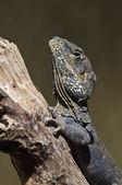 Reptile — Stock Photo