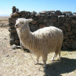 Llama, Peru — Stock Photo