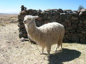 Llama, Peru