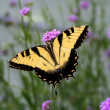Yellow and Black Butterfly — Stock Photo