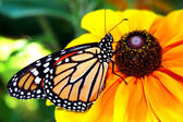Monarch Butterly — Stock Photo