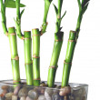 Lucky Bamboo Close Up — Stock Photo #2070586