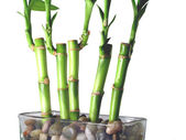 Lucky Bamboo Close Up — Stock Photo