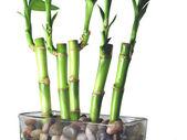 Lucky Bamboo Close Up — Stock Photo