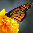 Monarch Butterfly — Stock Photo #2103866