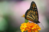 Monarch Butterfly — Foto Stock