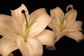 Two White Lilies — Stock Photo