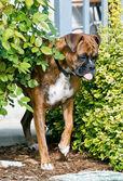 Boxer edges carefully past a rosebush — Stock Photo